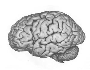 cerebral cortex2
