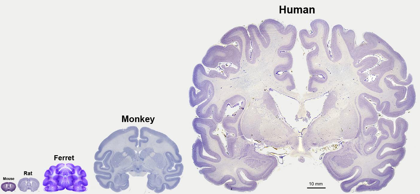 Rat Mouse Ferret Monkey Human AC